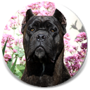 "About Time's Anarchy, ""Annie"", bred from our Chaos line, Black Brindle Female Cane Corso"