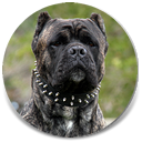 About Time's ba Asar, Black Brindle Male Cane Corso