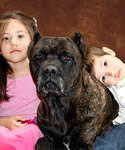 Companion Cane Corso, the perfect family friend, companion, guardian and protector.