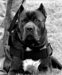 Working Cane Corso, exceling as Police K-9s, in working & protection jobs, sports and more.