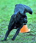 Nyx, Black Brindle Cane Corso, Lure Coursing.