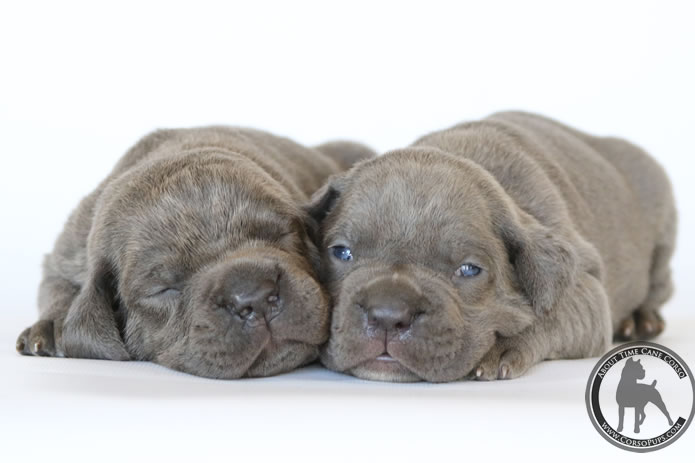 Champion bred Blue and Blue Brindle Cane Corso puppies Available for Sale