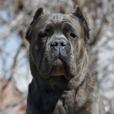 About Time's Italo, Blue Brindle Cane Corso Male