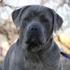 About Time Cane Corso Italiano Breeder Of Show Working