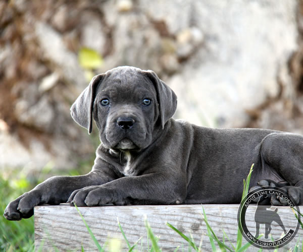 About Time Cane Corso Italiano Breeder Of Show Working Service