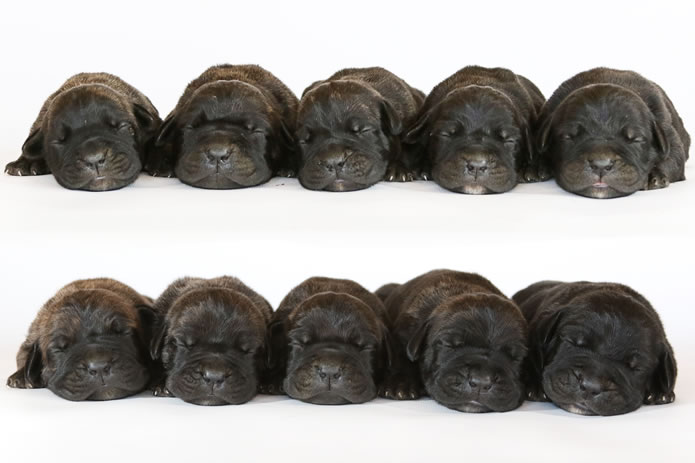 Champion bred Black brindle and Chestnut Brindle Cane Corso puppies Available for Sale