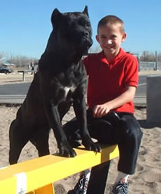 Cane Corso Security System, Protecting Your Children