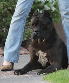Cane Corso Security, Excelent Protection for Woman