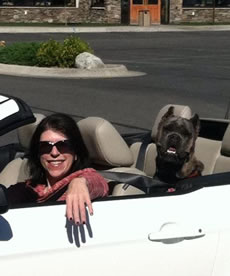 Cane Corso Security, Travels With You Wherever You Go!