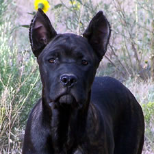 Cane Corso with bad ear crop, too tall, wrong shape