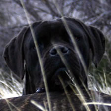 Cane Corso with un-cropped ears