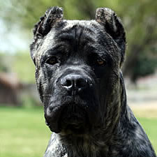 Cane Corso puppy with ear crop