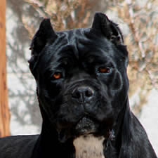 known as the Cane Corso  Black Cane Corso With Blue Eyes