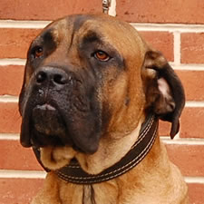 Cane Corso with uncropped hound-dog ears