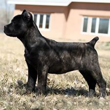 Cane Corso Puppy with Docked Tail