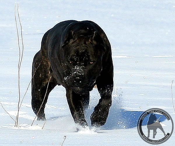 Cane Corso Chaos, About Time's Causing Chaos
