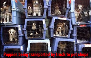 Puppymill pups being transported to pet stores
