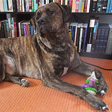 Silly, Adopted Cane Corso Rescue