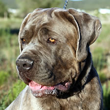 Fang, Adopted Neopolitan Mastiff Rescue