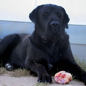 About Time Cane Corso Italiano Placed Rescues